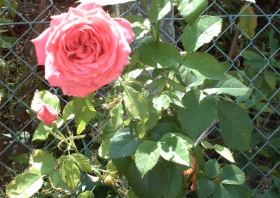 Deptford Rose 2